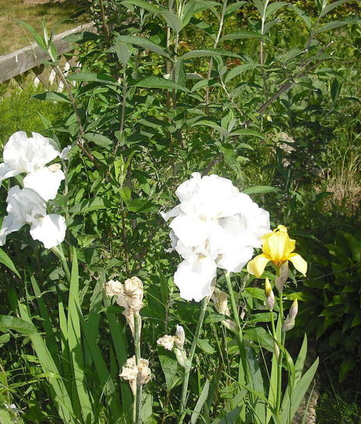 this is a pic from further back of the white iris on the left by the yellow one and look how big even then