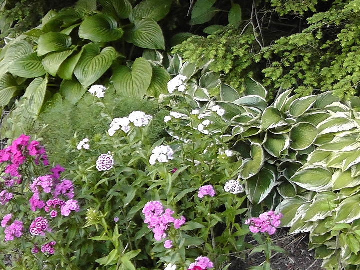 Several of my Hostas