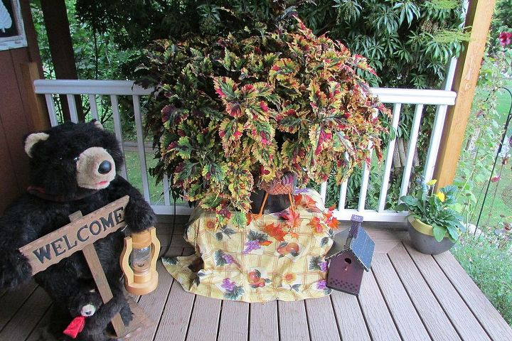 coleus plant, gardening, outdoor living, My large coleus plant