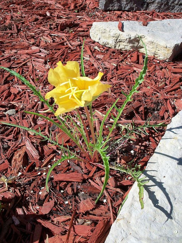 grass-like spiky leaves- beautiful yellow flower bloomed for about a day