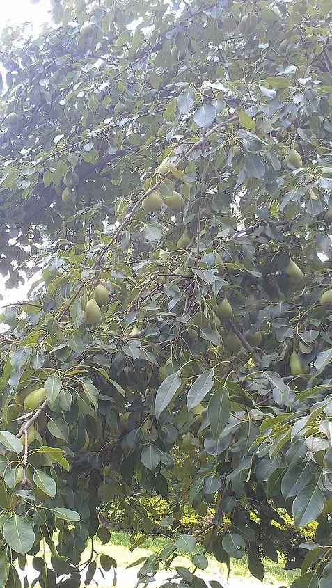 my bradford pear tree, gardening