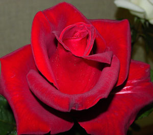 Veteran's Honor, Hybrid tea