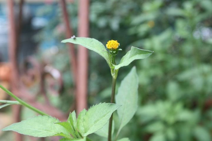 It is tall with small sunflower like flower heads.