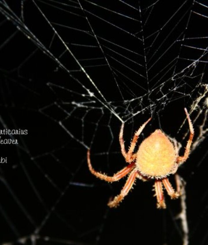 Orb Weaver.  Beautiful color and watching him weave this web between two trees was fascinating