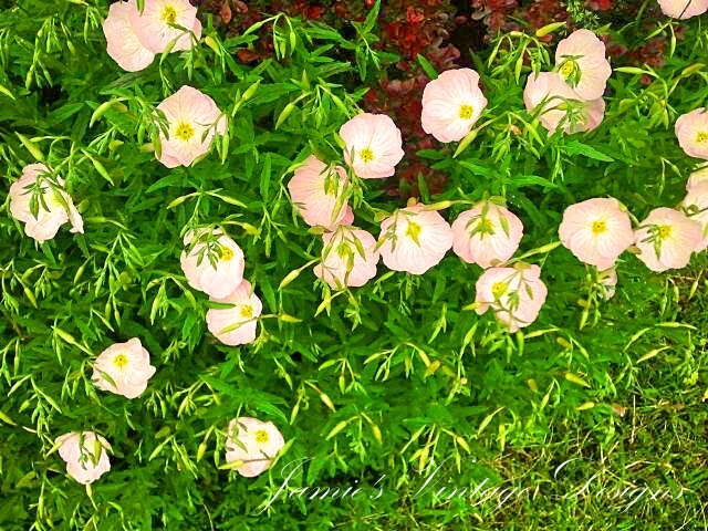 Onagraceae Evening Primrose family/ also known as (Oenothera speciosa) Pink Ladies/ Buttercups