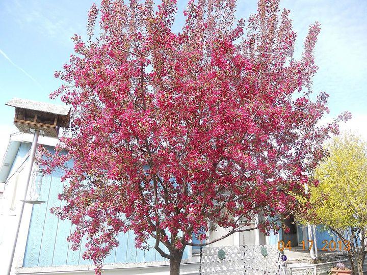 my humming crabapple tree, gardening