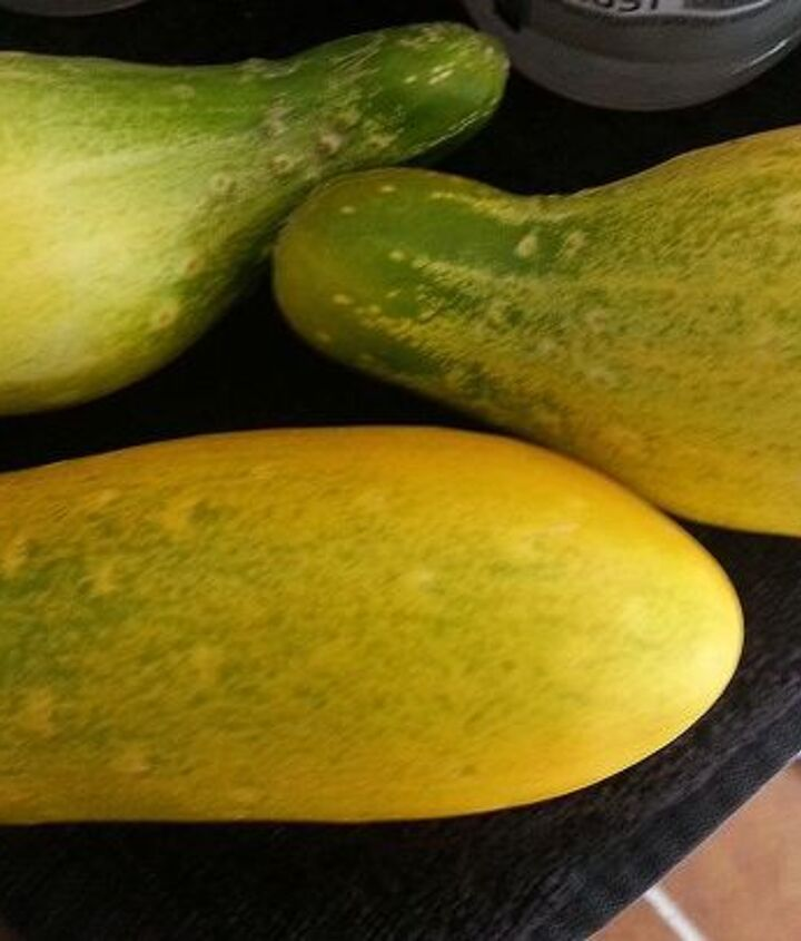 Threw the Orange round ones in the woods, these are smaller yellow ones, but NOT green and we are wondering if ROUNDUP in the WOODS could be an issue with the cukes in our yard?