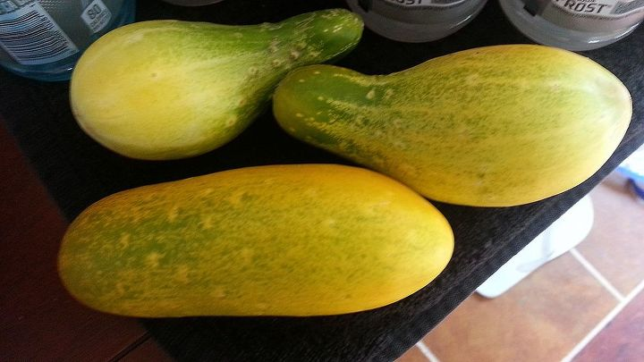 yellow cucumbers short or rououndish, gardening, Threw the Orange round ones in the woods these are smaller yellow ones but NOT green and we are wondering if ROUNDUP in the WOODS could be an issue with the cukes in our yard