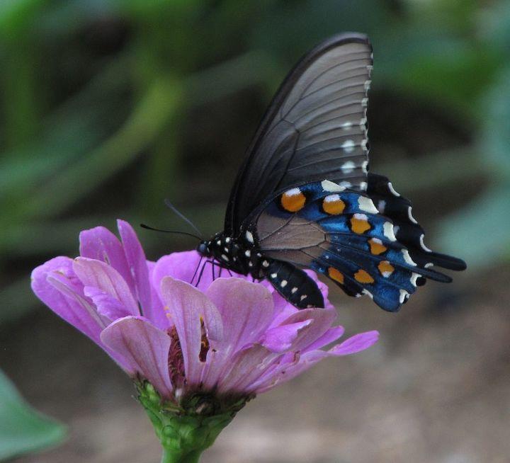 butterfly in my garden, gardening, pets animals