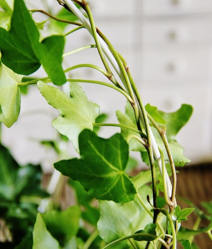 Step 3:  Wind the ivy around the coat hanger to train the ivy to create your topiary!