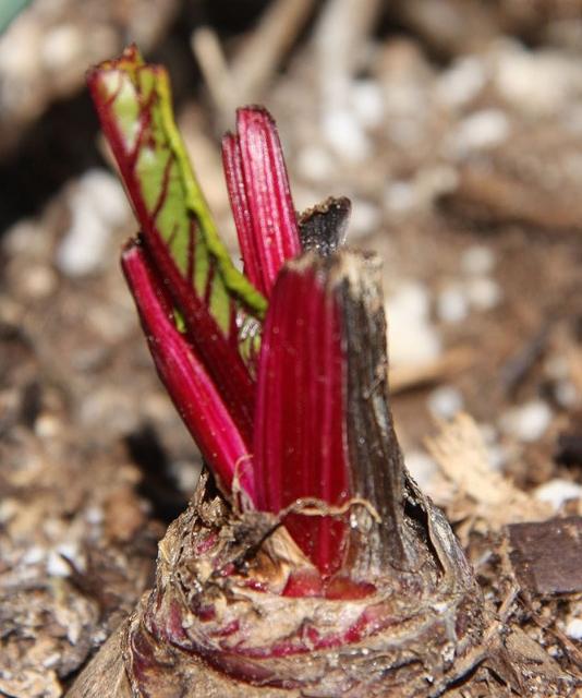 growing beets from kitchen scraps, container gardening, gardening