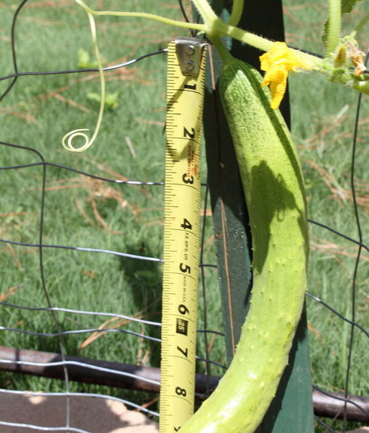 my husband planted this cucumber he does not remember the name any ideas, gardening