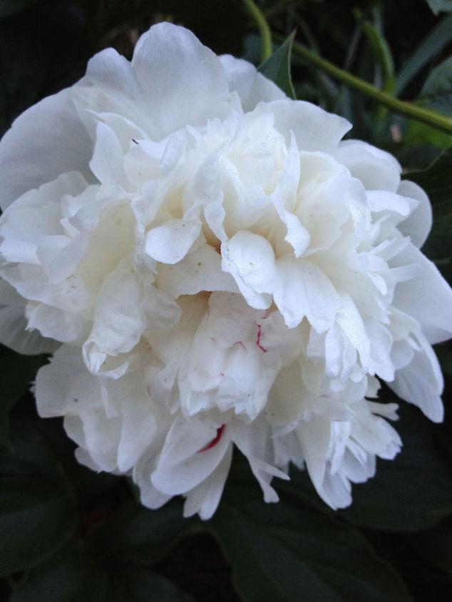 White Peonies Growing in Illinois Gardens