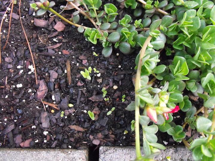 portulaca seedlings, gardening