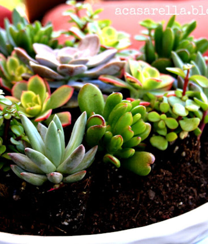 succulents they might actually be unkillable, flowers, gardening, succulents