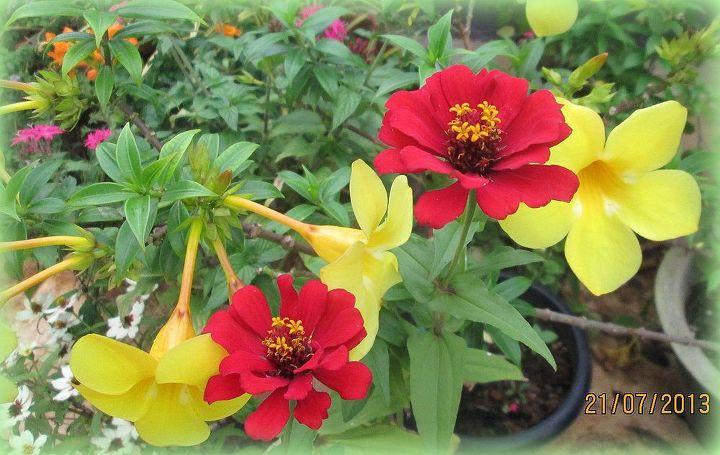 red zinnias with allamanda flowers, flowers, gardening