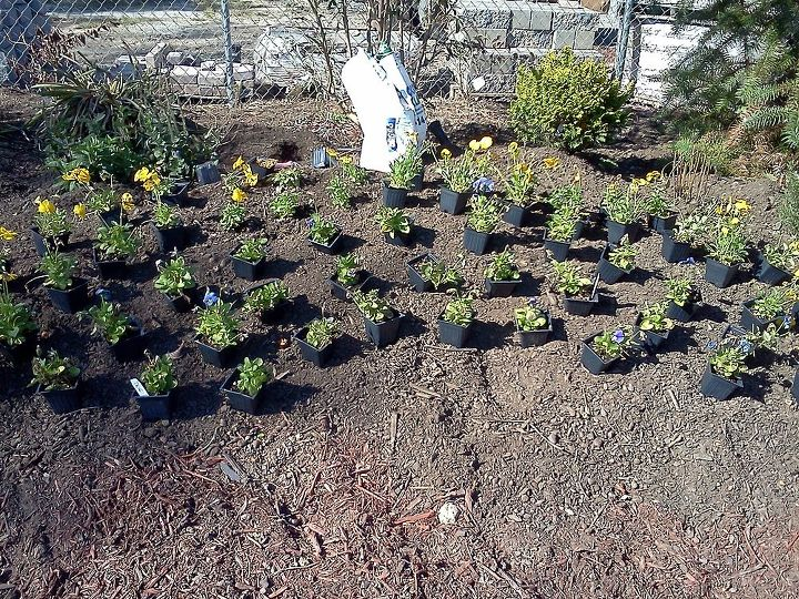 Bed laid out, Osmocote ready to be used. I planned a half moon with two rows of pure yellow ,back dropping a fill in of true blue pansies.