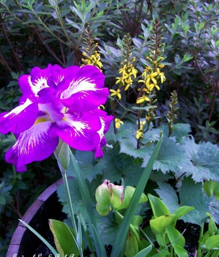Wet soil combo ~ Iris ensata,, Ligularia, and Pickerel Rush