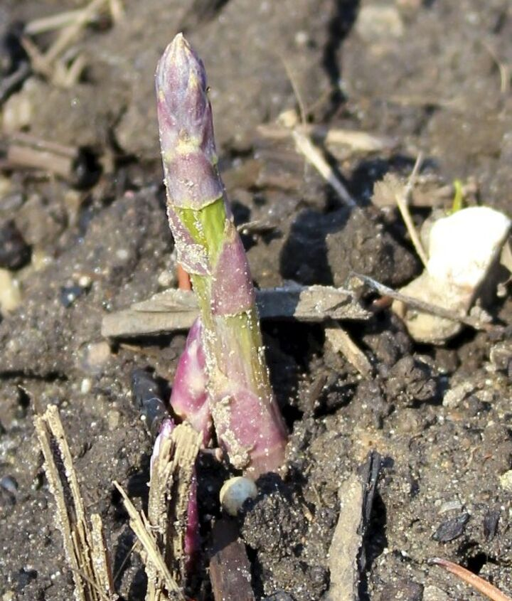 After only one year, we have some pencil sized asparagus. Can't wait to harvest these?