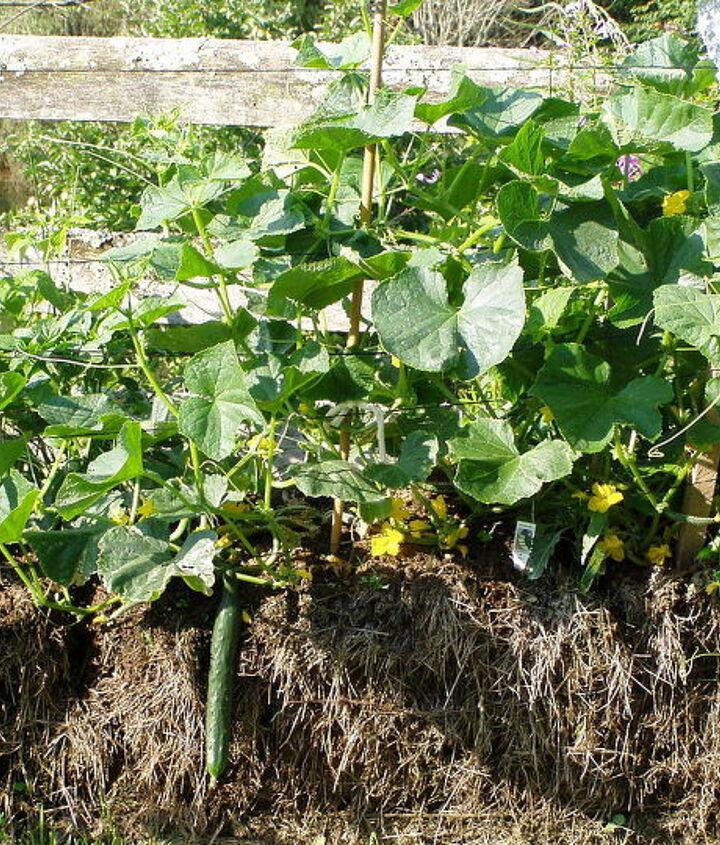 hay bale cucumbers, gardening