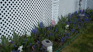 , hyacinths and grape hyacinths Tulips are budding out too