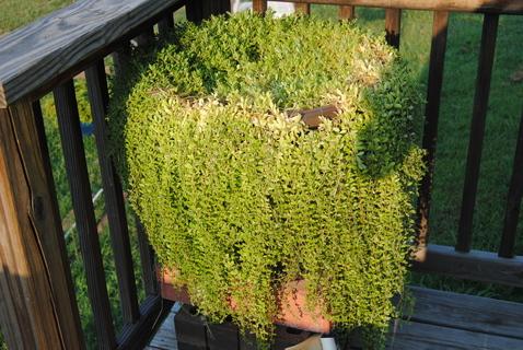 please help me identify this plant, gardening