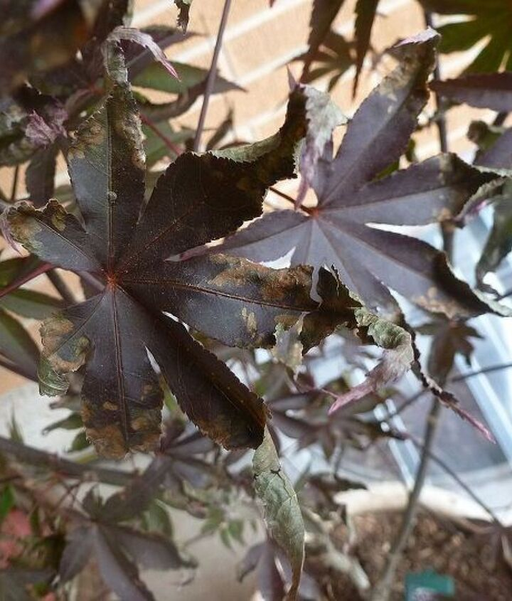 japanese maple help, gardening