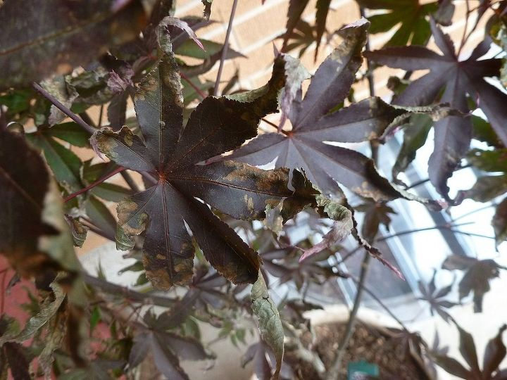 japanese maple help, gardening