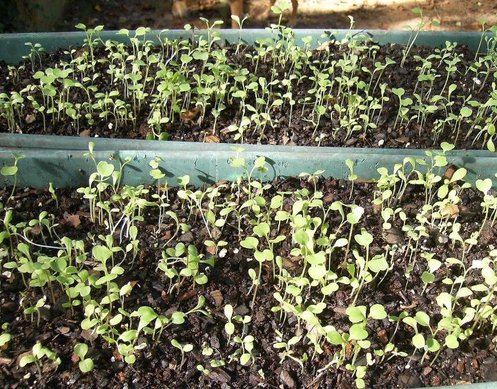 i planted some lettuce a week or so ago and it s come up nicely but now i m not sure, container gardening, gardening