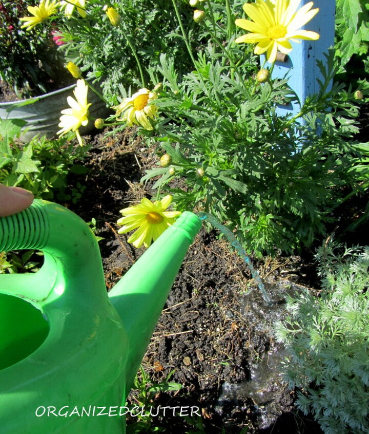 Now water each annual individually.  Since the bed was already watered, just pour a small amount directly at the base of each plant.