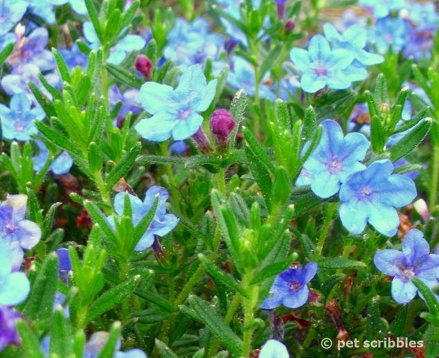 Blue perennial flowers try lithodora an update with new images blue perennial flowers try lithodora an update w new images flowers gardening perennials mightylinksfo