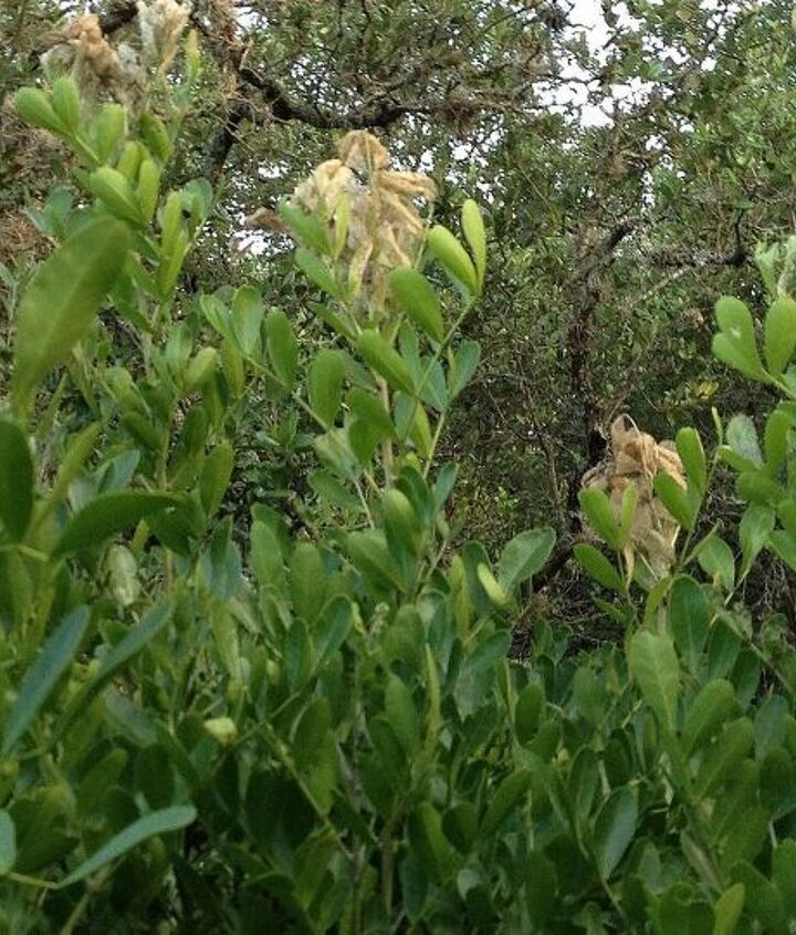 q mountain laurel problem, gardening