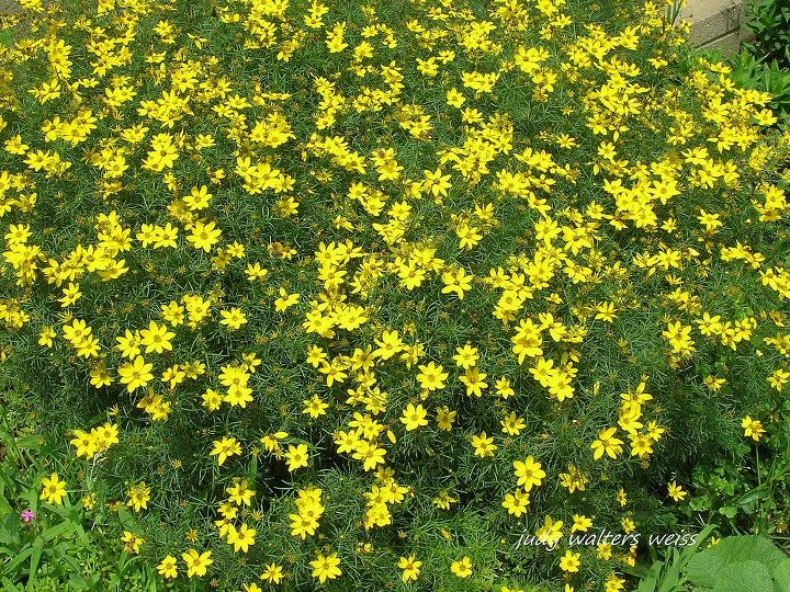 "Coreopsis is such a cheery, sunny plant! I ""rescued"" a 4 inch piece  from between  pavers in my neighbors sidewalk ~ planted it & in no time it was thriving in my garden."
