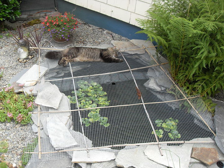 Keeping raccoons out of the pond hometalk for Koi pond net ideas