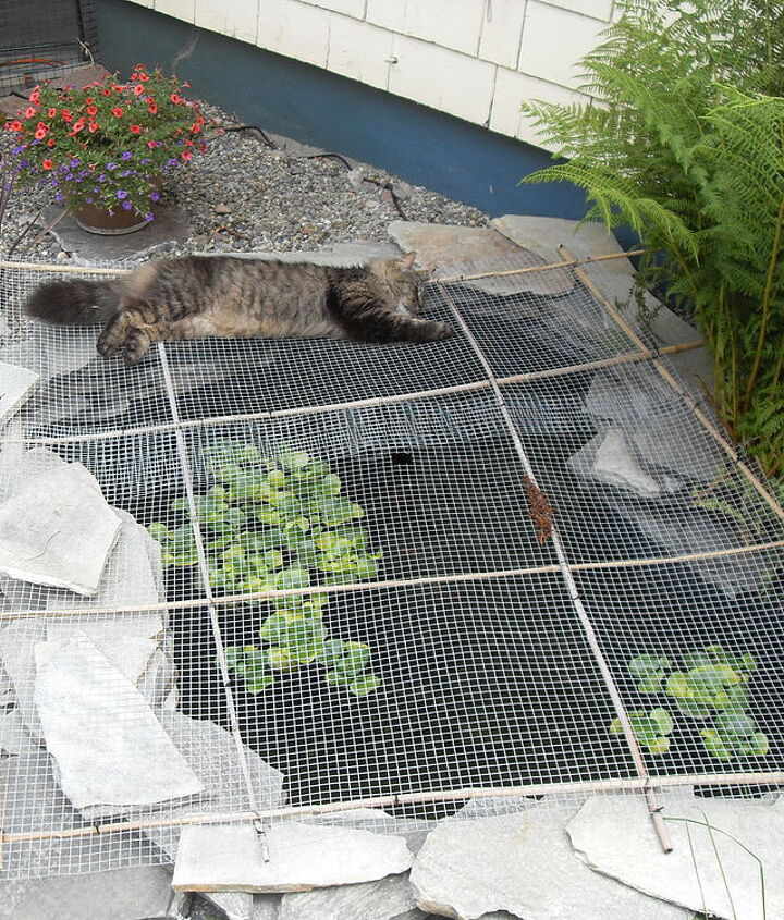 Pond cover to keep the raccoons out. Fluffy our cat keeping guard!!