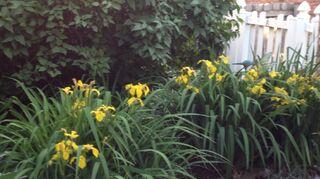 , Irises