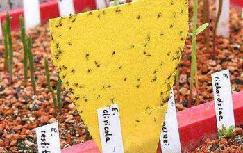 how to get rid of fungus gnats in your indoor garden, gardening, pest control, You can use a piece of yellow coloured cardboard similar to the one in the picture Then paint the cardboard with corn syrup and place it near the infested plant Gnats are attracted to yellow and the sticky corn syrup will trap them