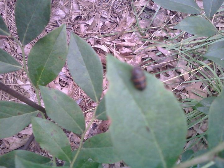 hometalkers can you identify this bug for me has two orange stripes, gardening, pest control
