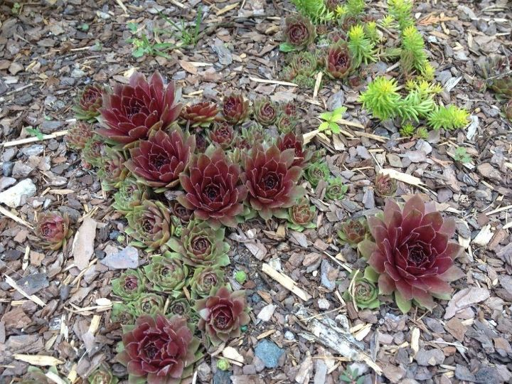 Hens and chicks suculent