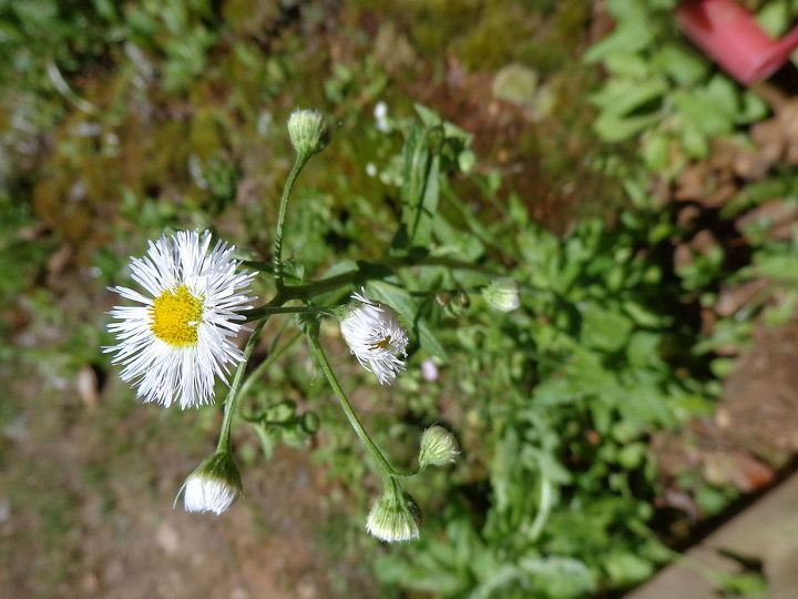 name these plants, flowers, gardening, Pretty little flowers are everywhere in white and pink som e ind of daisy