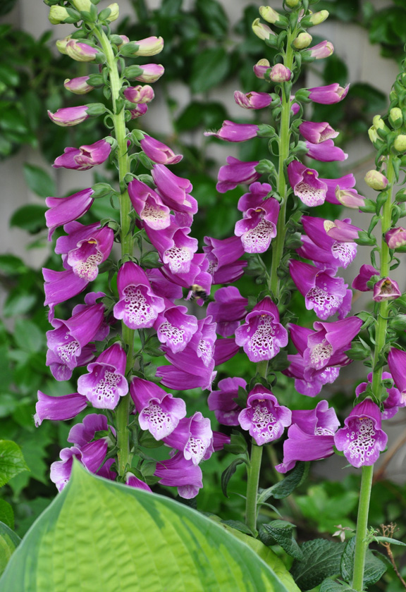 Foxgloves are another biennial that often reseed themselves and then bloom late the following spring. (Part shade)