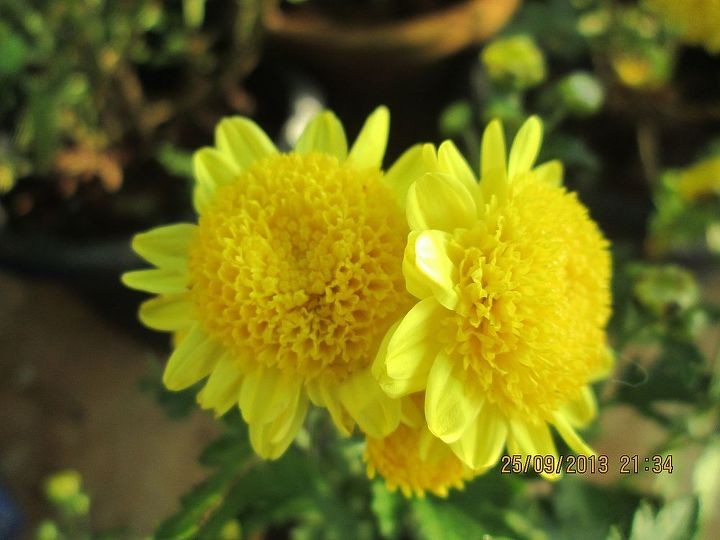 anemone mums, gardening