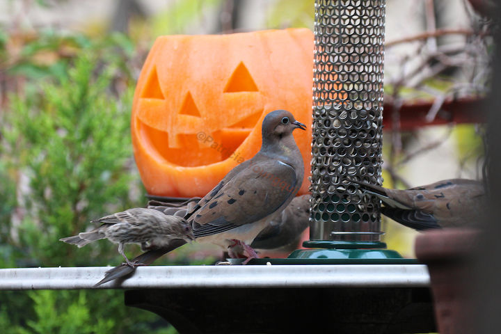 Lone Jack-O-Lantern gets a chuckle out of a shortsighted  house female finch LANDING on a mourning dove's tail! INFO on Finches @ http://bit.ly/RJiRfI AND @ http://bit.ly/VemJsF