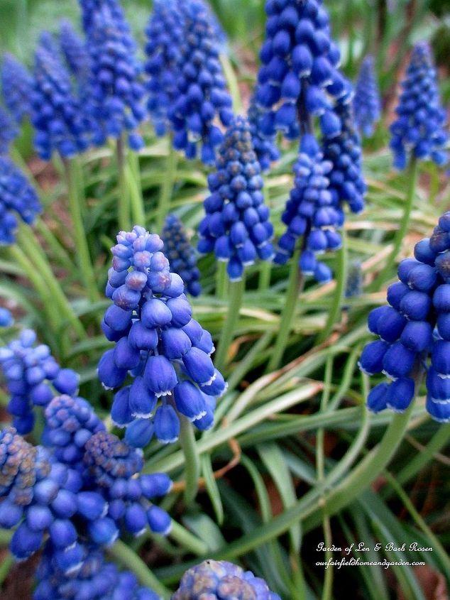 Muscari ~ Grape Hyacinths