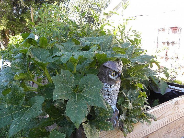 garden box fall season, flowers, gardening, hibiscus, Squash Plant