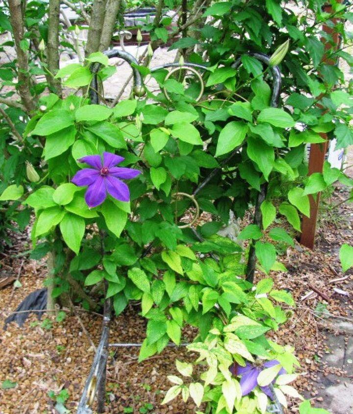 Clematis cimbing in an old metal chair.