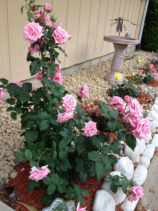 Floribunda Rose Garden featuring Gene Boerner #roses #spring #springgardening