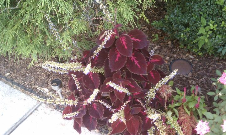 q how to use the seed from this plant to grow new plants for next year the purple, flowers, gardening