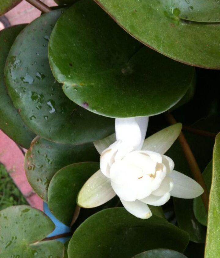 water lillies, gardening