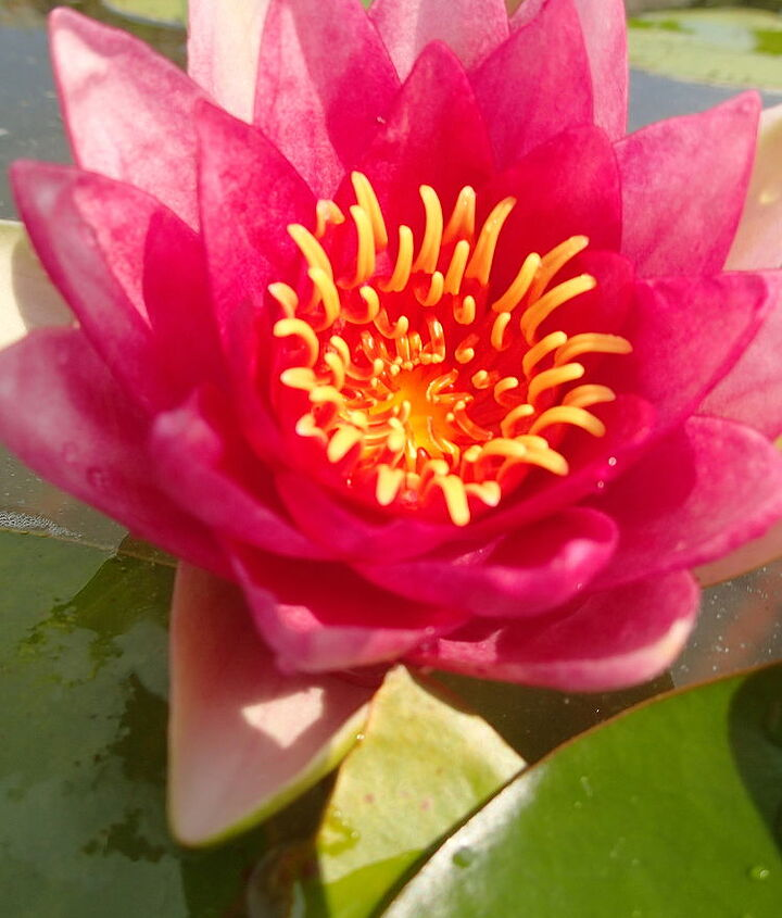 """Beauty is in the eye of the beholder...ecosystem pond, NH  lovely """"red"""" waterlily"""